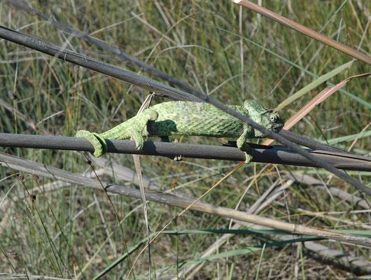 Chamaeleo africanus - Afrikaanse kameleon