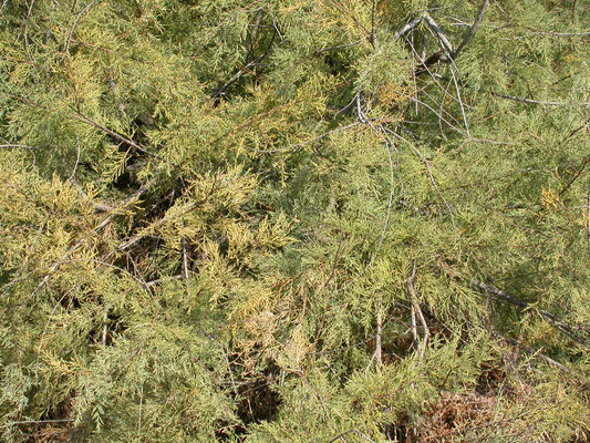 Tamarix africana - Tamarisk