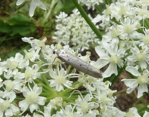 Yponomeuta padella - Meidoornstippelmot