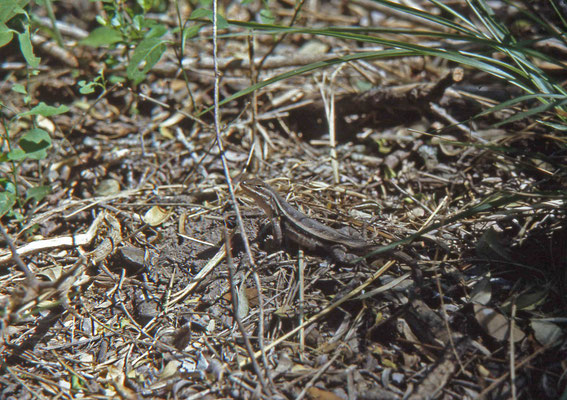 Texas Rose-bellied Lizard