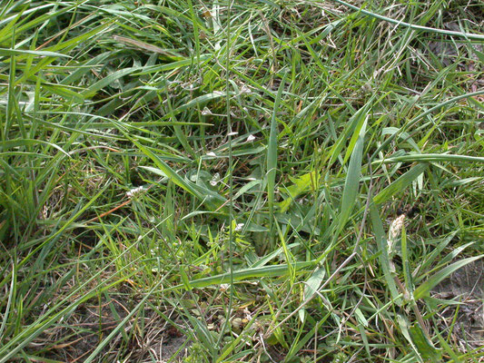 Capsella bursa-pastoris - Herderstasje