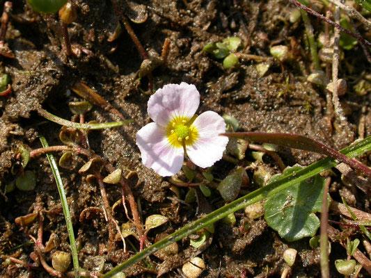 Echinodorus ranunculoides - Stijve moerasweegbree