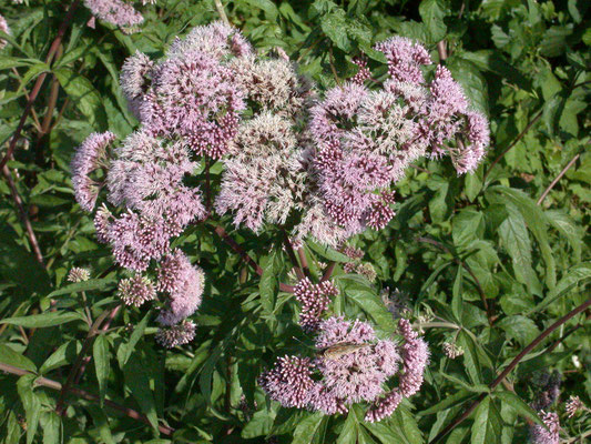 Eupatorium cannabinum - Koninginnekruid