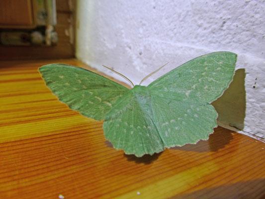 Geometra papillionaria - Zomervlinder