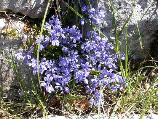 Polygala alpestris - Alpenvleugeltjesbloem