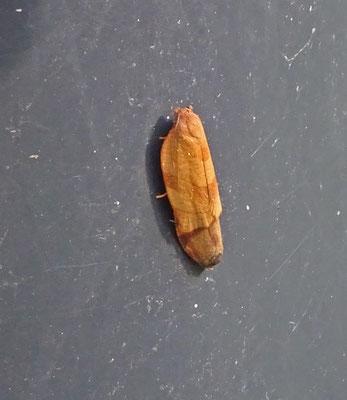 Cacoecimorpha pronubana - Anjerbladroller
