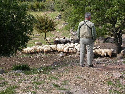 Carlo hoedt schapen