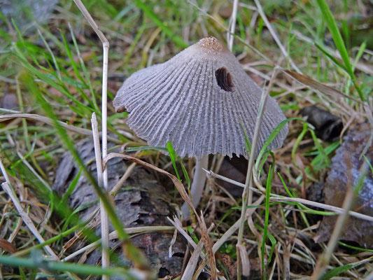 Parasola auricoma - Kastanje inktzwam