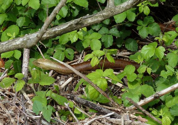 Pseudopus apodus - Scheltopusik