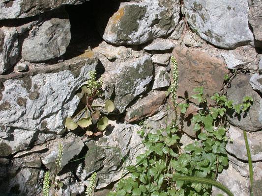 Umbilicus rupestris - Rots-navelkruid