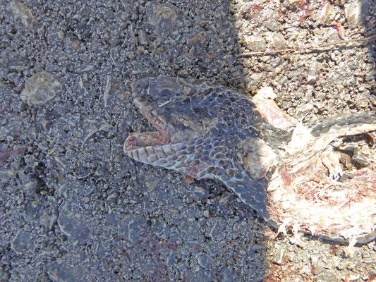 Dolichophis jugularis asianus