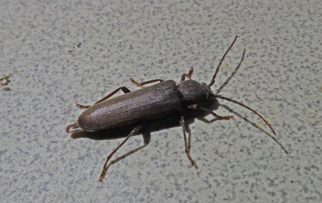 Arhopalus rusticus - Bruine grootoogboktor