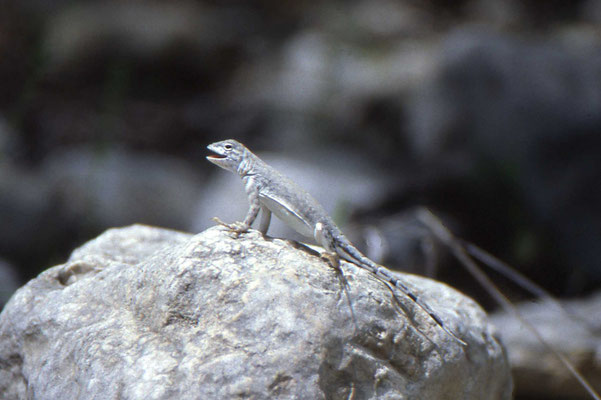 Greater Earless Lizard, female