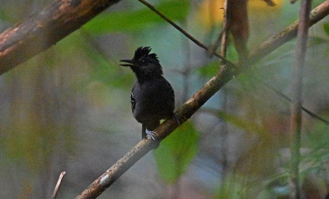 Black-headed Antbird