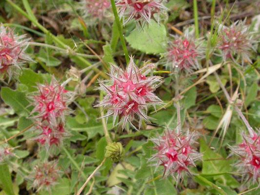 Trifolium stellatum - Sterklaver
