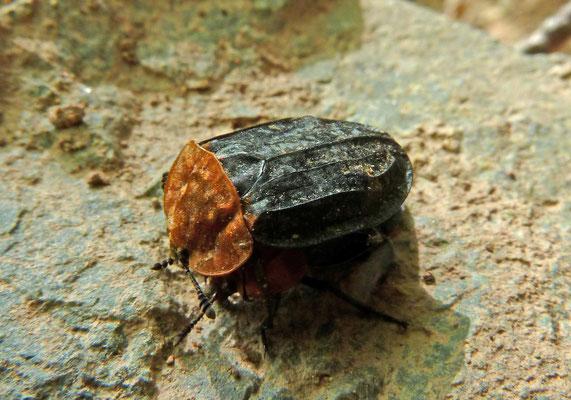 Oiceoptera thoracicum - Oranje aaskever