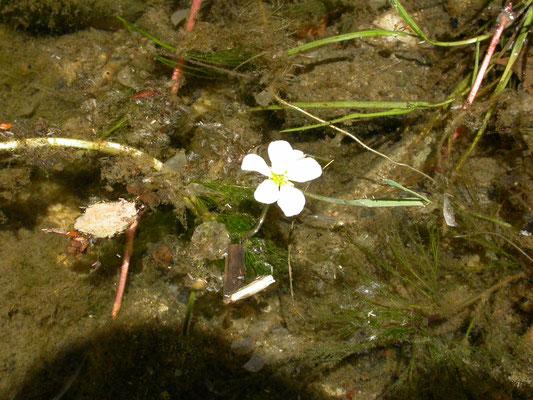 Ranunculus fluitans - Vlottende waterranonkel