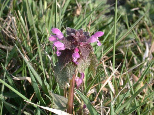 Lamium purpureum purpureum - Paarse dovenetel