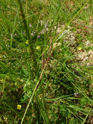 Carex hirta - Ruige zegge