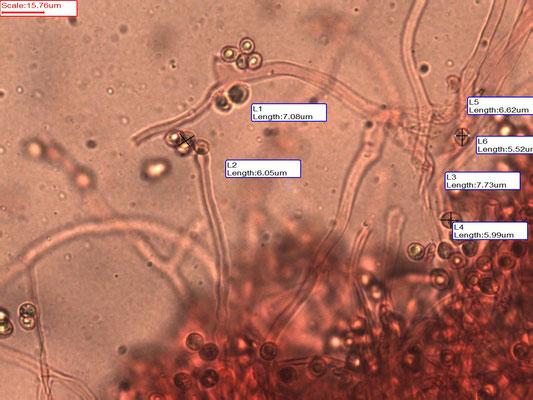 Crepidotus cesatii - Rondsporig oorzwammetje
