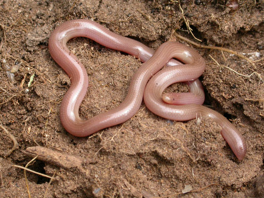 Xerotyphlops vermicularis - Slanke wormslang