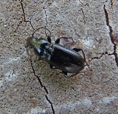 Pterostichus nigrita