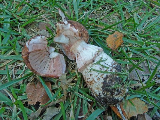 Agaricus bresadolanus - Wortelende champignon