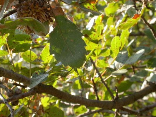 Quercus aegilops