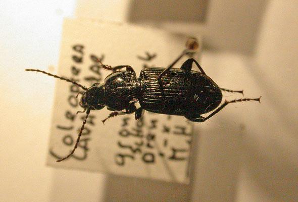 Pterostichus rhaeticus
