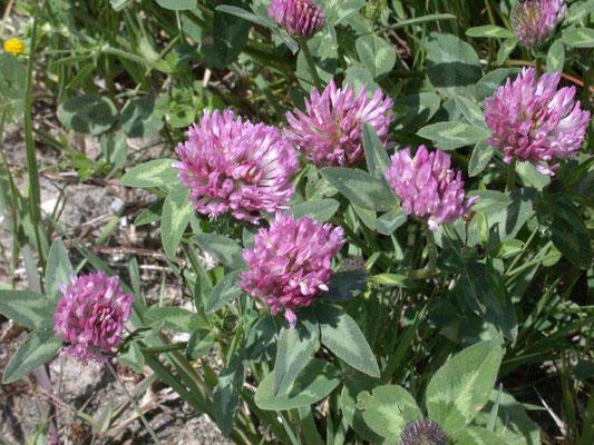 Trifolium pratense - Rode klaver