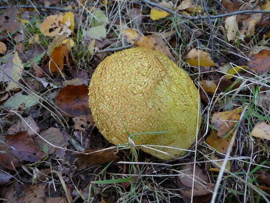 Scleroderma citrina - Gele aardappelbovist