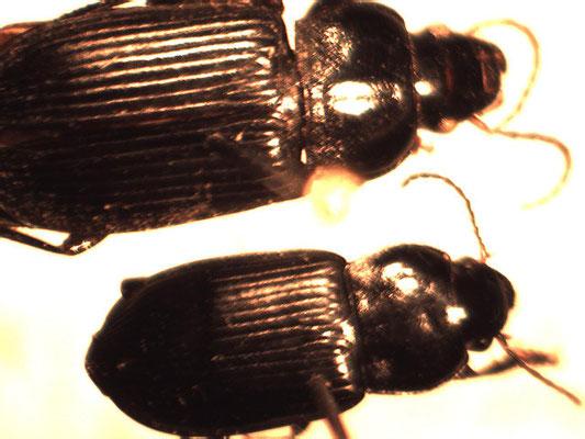Anisodactylus binotatus en Anisodactylus nemovaragus (kleinere)