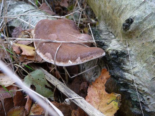 Piptoporus betulinus - Berkenzwam