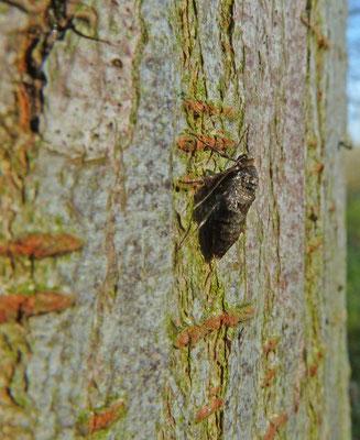 Operophtera brumata - Kleine wintervlinder