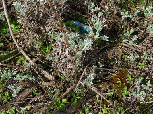 Artemisia campestris maritima - Duinaveruit