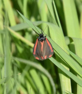 Tyria jacobaeae - Jacobsvlinder