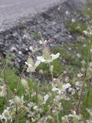 Silene dichotoma - Gaffelsilene