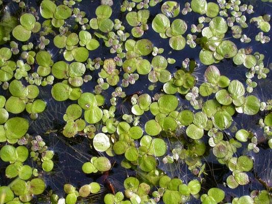 Lemna minor - Klein kroos en  Spirodela polyrhiza - Veelwortelig kroos