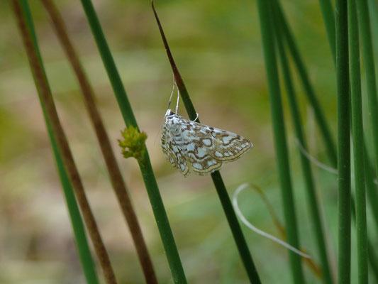 Elophila nymphaeta - Waterleliemotje