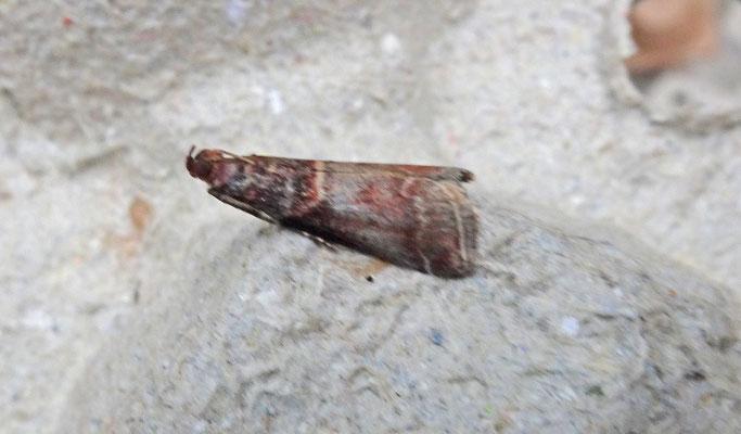 Acrobasis advenella - Mutsjeslichtmot