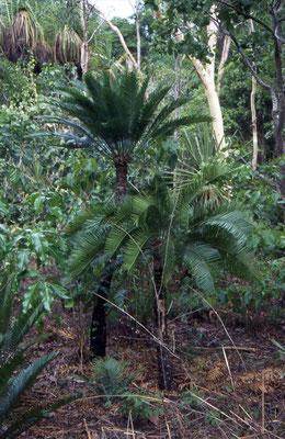 cica-achtige boom