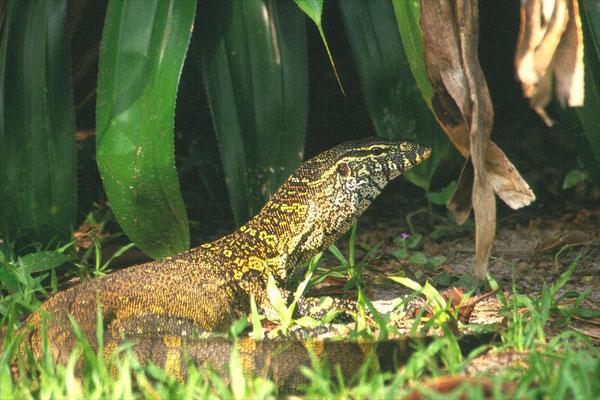Nile Monitor - Varanus niloticus