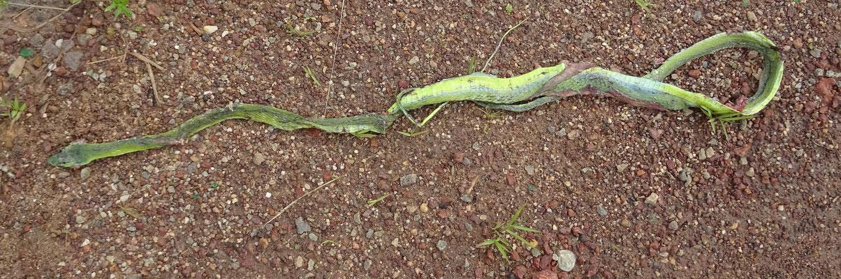 Groene spitsneusslang