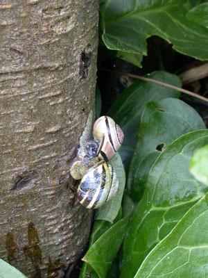 Cepaea nemoralis - Zwartgerande tuinslak