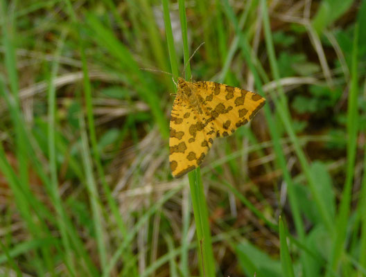boterbloempje (Pseudopanthera macularia)