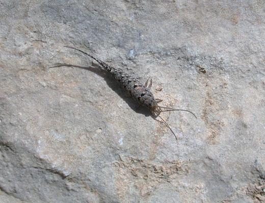 Thermobia aegyptica