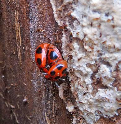 Endomychus coccineus - Viervlekschimmelvreter
