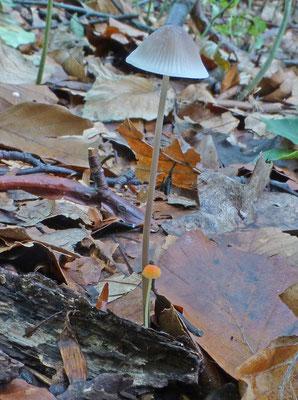 Mycena acicula - Oranje dwergmycena