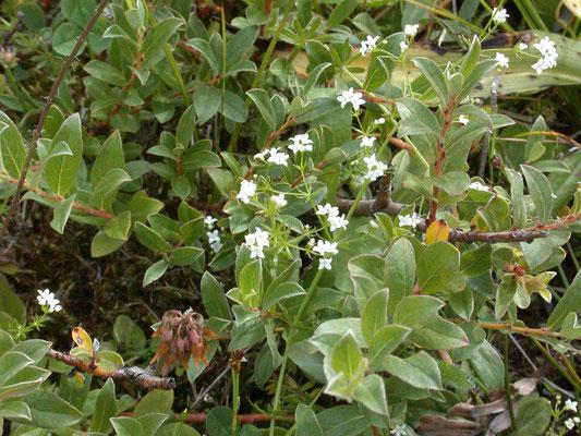 Galium uliginosum - Ruw walstro