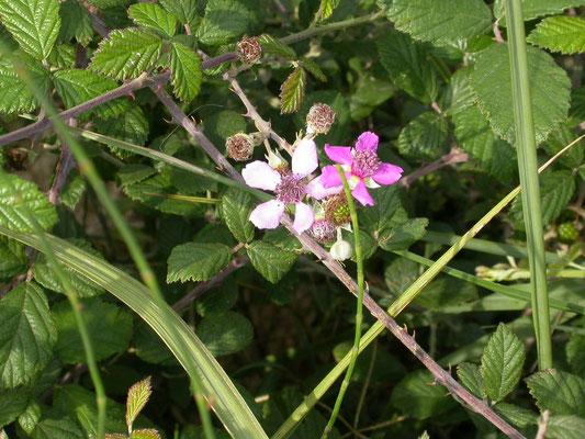 Rubus sanctus - Heilige stekelbraam